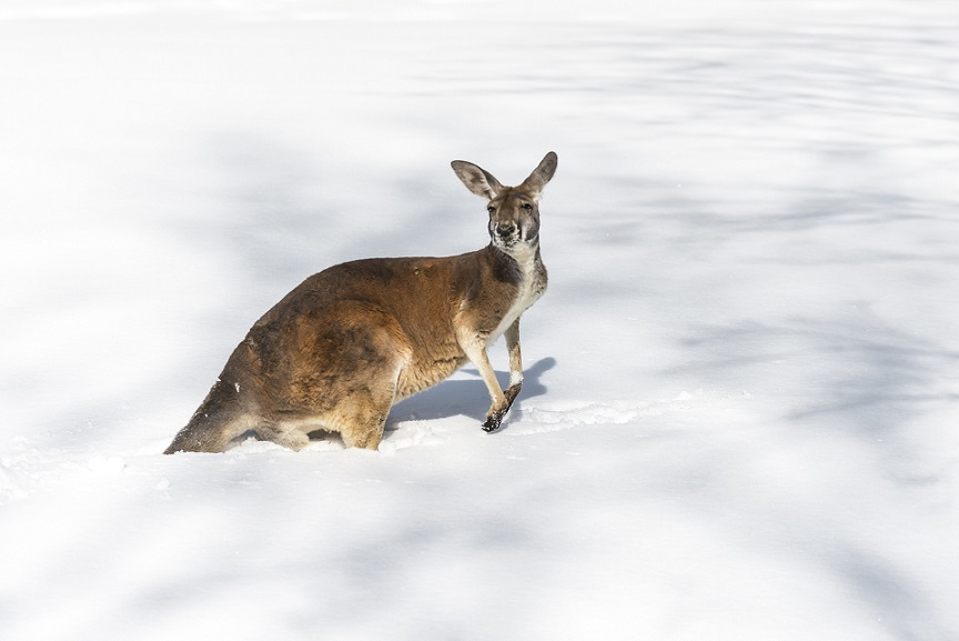 Confused young Kangaroo playing on the snow